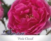 Rosa 'Pink Cloud'