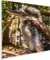 Een fascinerende foto van een kookaburra die zich begeeft in de natuur van Australië Plexiglas 120x160 cm - Foto print op Glas (Plexiglas wanddecoratie) XXL / Groot formaat!