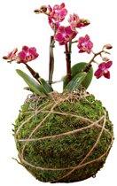 1 Orchidee Kokedama Bol XL Handgemaakt.