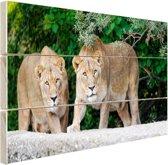 Twee leeuwinnen Hout 30x20 cm - klein - Foto print op Hout (Wanddecoratie)