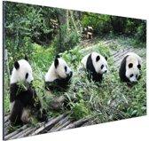 Reuze pandas in de natuur Aluminium 60x40 cm - Foto print op Aluminium (metaal wanddecoratie)
