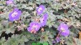 Set 12 stuks Geranium Azure Rush ooievaarsbekje