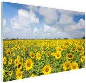 Zonnebloemen veld  Glas 120x80 cm - Foto print op Glas (Plexiglas wanddecoratie)