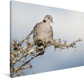 Een tortelduif zit hoog in een boom Canvas 180x120 cm - Foto print op Canvas schilderij (Wanddecoratie woonkamer / slaapkamer) XXL / Groot formaat!
