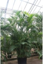 Dypsis lutescens - Areca Palm - Kamerpalm 515-525cm